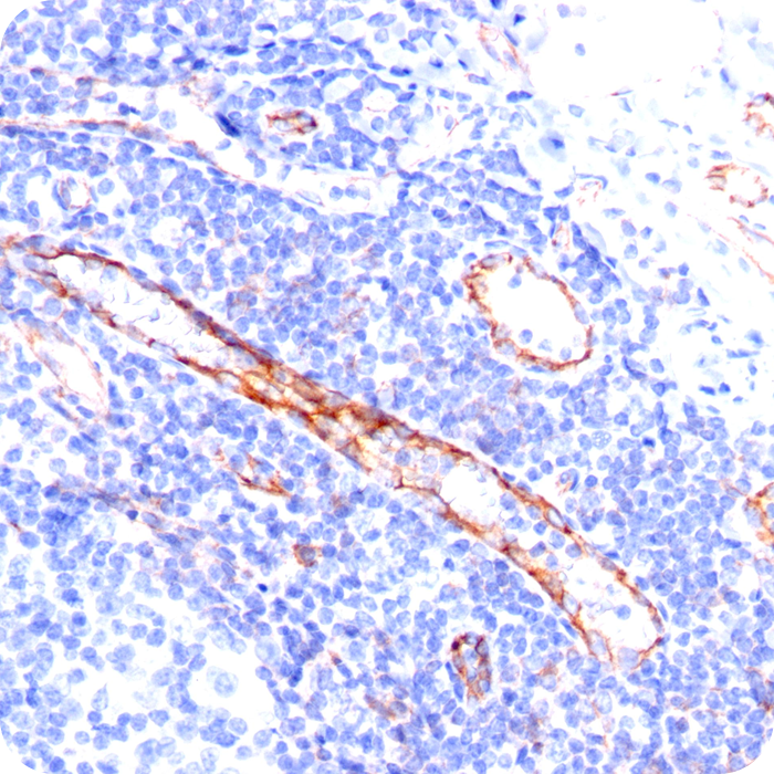 CD31 / PECAM-1 (Endothelial Cell Marker); Clone C31.3 (Concentrate)