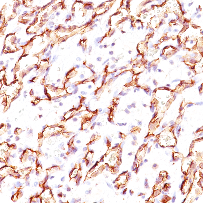 Podocalyxin (PODXL) (Hematopoietic Stem Cell Marker); Clone 3D3 (Concentrate)