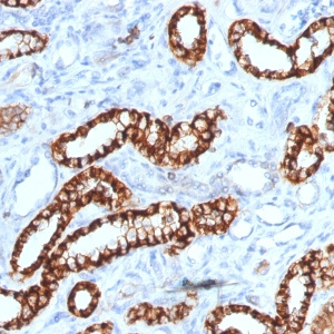 Ksp-Cadherin (Kidney-Specific Cadherin) / CDH16; Clone rCDH16/1071 (Concentrate)