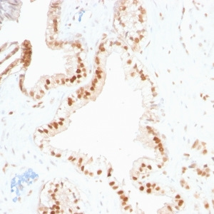 p27Kip1 (Mitotic Inhibitor/Suppressor Protein); Clone SPM348 (Concentrate)
